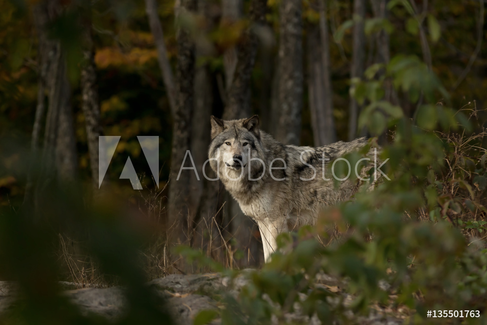 Timber wolf on the hunt in autumn